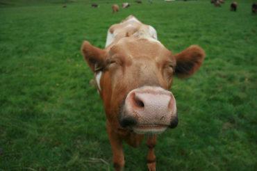 Happy cow in a field