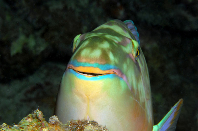 Close up of a fish underwater facing the camera