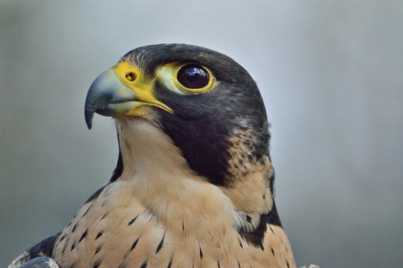 Peregrine Falcon head, nature inspiring computer vision